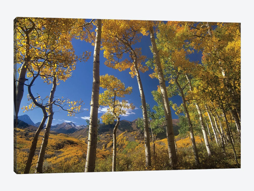 Quaking Aspen In Fall Colors And Maroon Bells, Elk Mountains, Snowmass Wilderness, Colorado by Tim Fitzharris 1-piece Canvas Wall Art