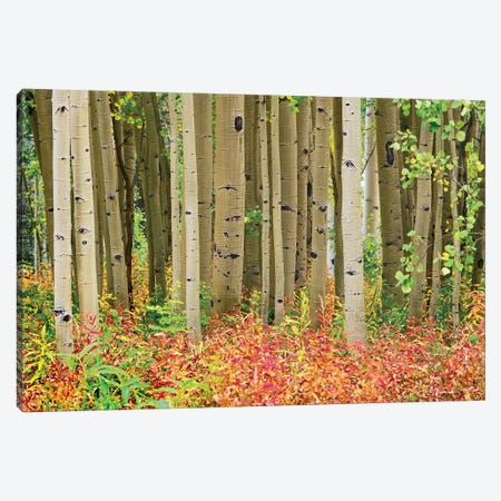 Quaking Aspen Trees And Fireweed, Collegiate Peaks Wilderness Area, Colorado Canvas Print #TFI839} by Tim Fitzharris Canvas Print