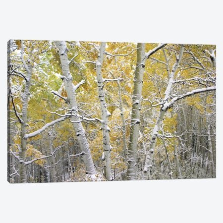 Quaking Aspen Trees Covered With Snow Near Kebbler Pass, Gunnison National Forest, Colorado I Canvas Print #TFI841} by Tim Fitzharris Canvas Art
