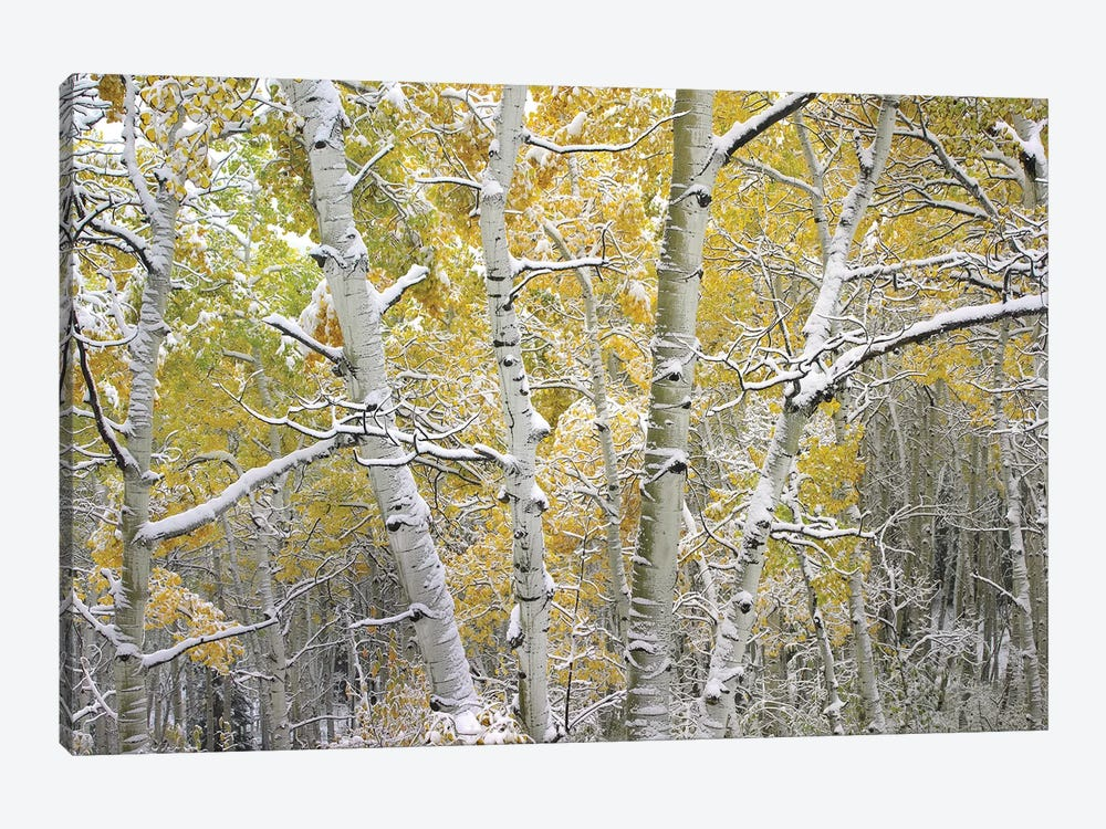 Quaking Aspen Trees Covered With Snow Near Kebbler Pass, Gunnison National Forest, Colorado I by Tim Fitzharris 1-piece Canvas Art