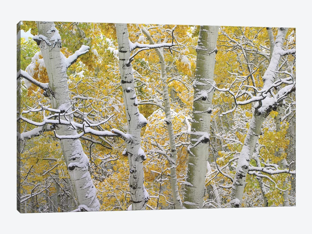 Quaking Aspen Trees Covered With Snow Near Kebbler Pass, Gunnison National Forest, Colorado II by Tim Fitzharris 1-piece Canvas Print