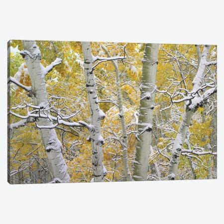 Quaking Aspen Trees Covered With Snow Near Kebbler Pass, Gunnison National Forest, Colorado II Canvas Print #TFI842} by Tim Fitzharris Canvas Artwork