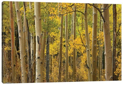 Quaking Aspen Trees In Autumn, Santa Fe National Forest Near Santa Fe, New Mexico I Canvas Art Print