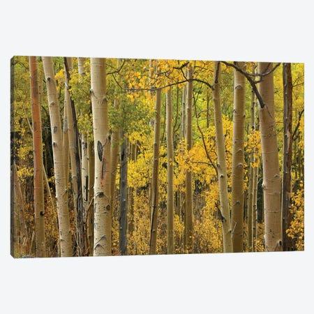 Quaking Aspen Trees In Autumn, Santa Fe National Forest Near Santa Fe, New Mexico I Canvas Print #TFI843} by Tim Fitzharris Canvas Art
