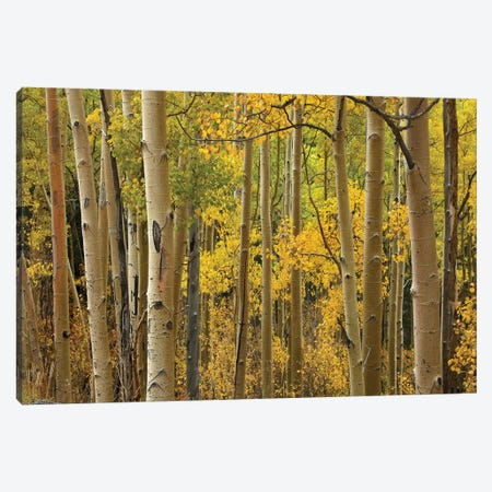 Quaking Aspen Trees In Autumn, Santa Fe National Forest Near Santa Fe, New Mexico I Canvas Print #TFI843} by Tim Fitzharris Canvas Art
