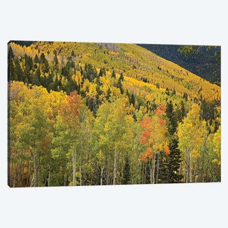 Quaking Aspen Trees In Autumn, Santa Fe National Forest Near Santa Fe, New Mexico II Canvas Print #TFI844} by Tim Fitzharris Canvas Art Print