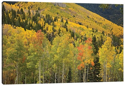 Quaking Aspen Trees In Autumn, Santa Fe National Forest Near Santa Fe, New Mexico II Canvas Art Print