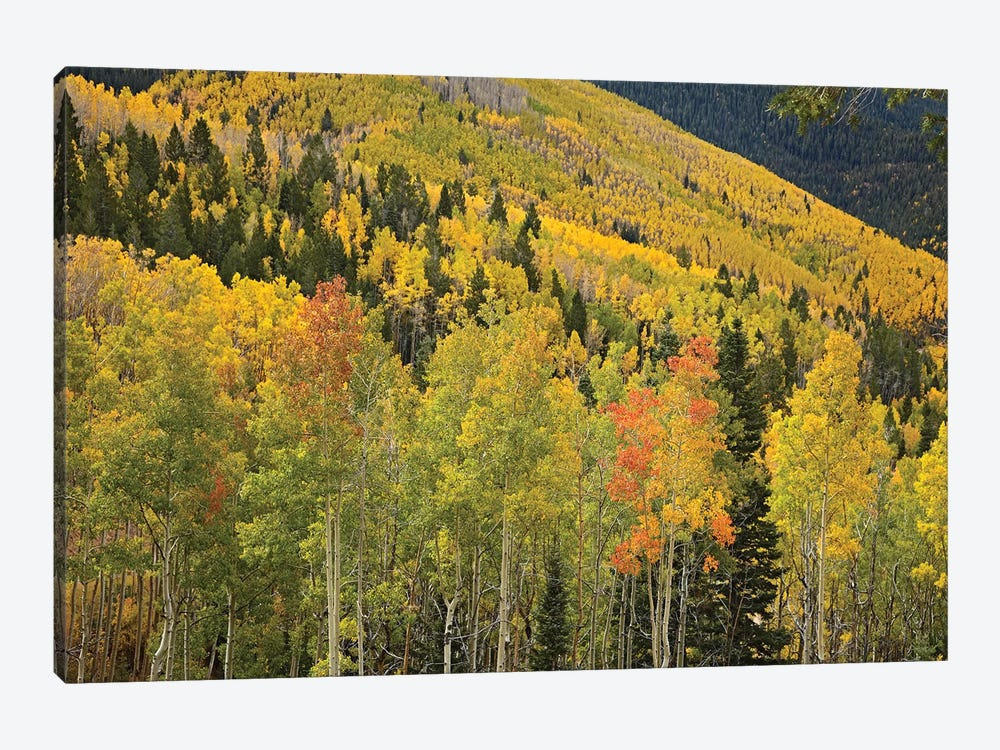 Quaking Aspen Trees In Autumn, Santa Fe National Forest Near Santa Fe, New Mexico II by Tim Fitzharris 1-piece Canvas Print