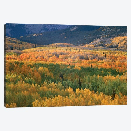 Quaking Aspen Trees In Fall Colors, Gunnison National Forest, Colorado Canvas Print #TFI845} by Tim Fitzharris Canvas Print
