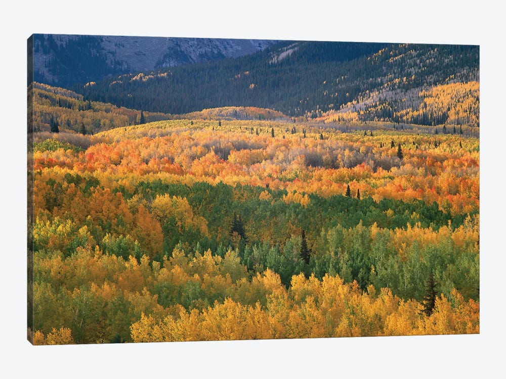 Quaking Aspen Trees In Fall Colors, Gunnison National Forest, Colorado by Tim Fitzharris 1-piece Canvas Wall Art