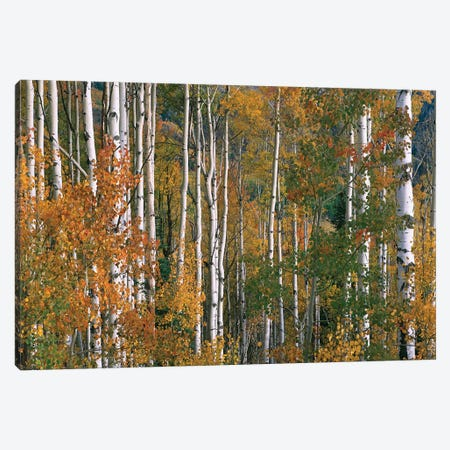 Quaking Aspen Trees In Fall Colors, Lost Lake, Gunnison National Forest, Colorado Canvas Print #TFI846} by Tim Fitzharris Art Print