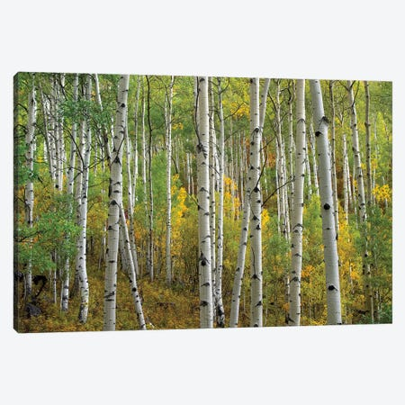 Quaking Aspen In Autumn, Colorado II Canvas Print #TFI847} by Tim Fitzharris Canvas Art Print