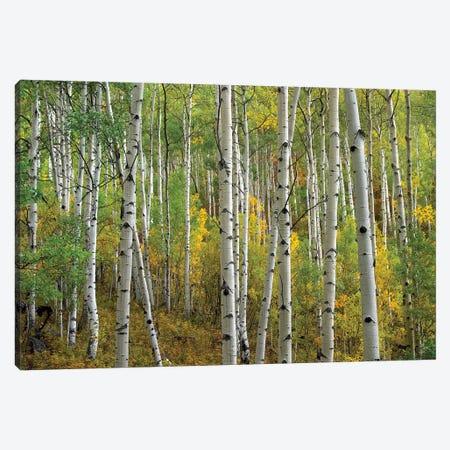 Quaking Aspen In Autumn, Colorado II 3-Piece Canvas #TFI847} by Tim Fitzharris Canvas Art Print
