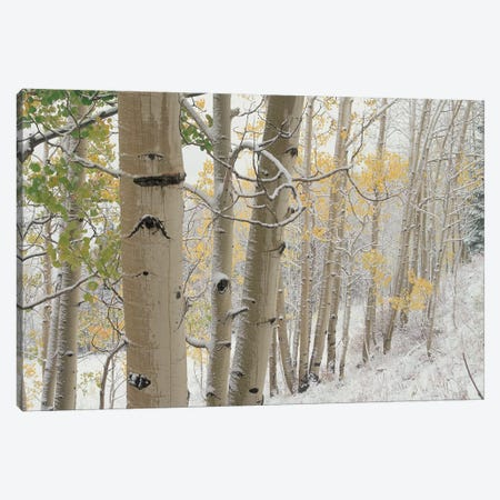 Quaking Aspen Trees With Snow, Gunnison National Forest, Colorado Canvas Print #TFI849} by Tim Fitzharris Canvas Wall Art