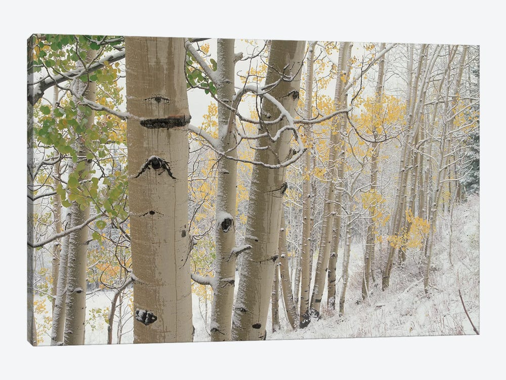 Quaking Aspen Trees With Snow, Gunnison National Forest, Colorado by Tim Fitzharris 1-piece Canvas Art