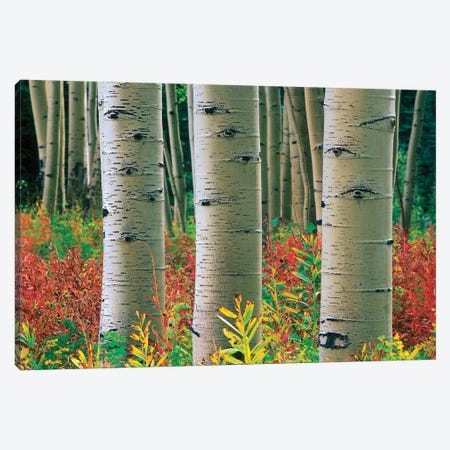 Quaking Aspen Forest, Colorado II Canvas Print #TFI850} by Tim Fitzharris Canvas Print