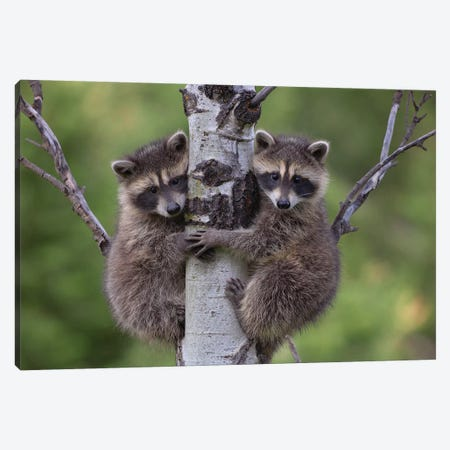 Raccoon Two Babies Climbing Tree, North America I Canvas Print #TFI851} by Tim Fitzharris Art Print