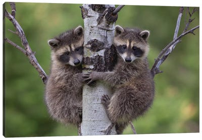 Raccoon Two Babies Climbing Tree, North America I Canvas Art Print