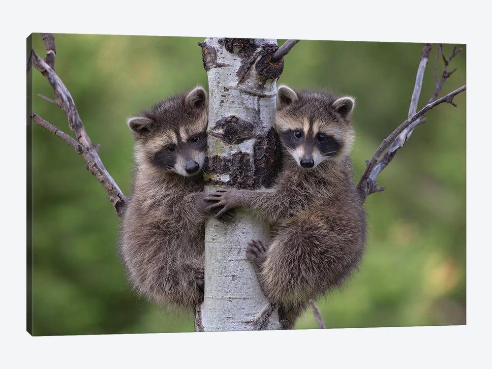 Raccoon Two Babies Climbing Tree, North America I by Tim Fitzharris 1-piece Canvas Print