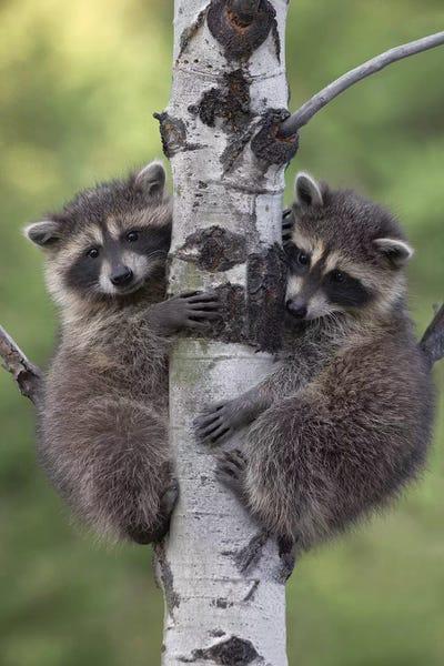 Raccoon Two Babies Climbing Tree North Ameri Tim