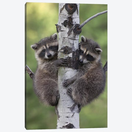 Raccoon Two Babies Climbing Tree, North America II Canvas Print #TFI852} by Tim Fitzharris Canvas Art Print