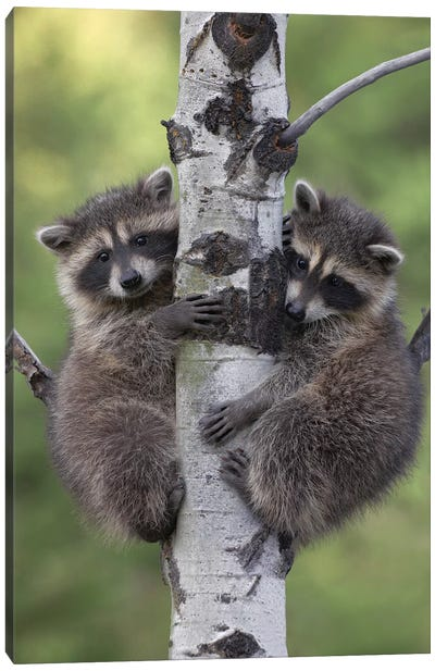 Raccoon Two Babies Climbing Tree, North America II Canvas Art Print