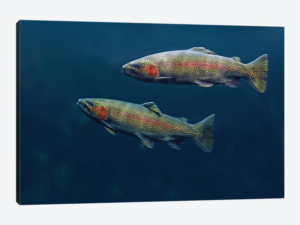 Rainbow Trout Pair Swimming Underwater by Tim Fitzharris 1-piece Canvas Print