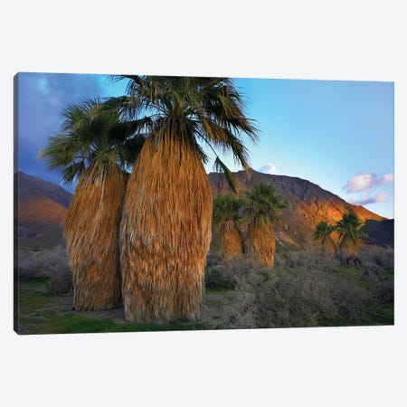 Real Fan Palm, Anza-Borrego Desert, California Canvas Print #TFI862} by Tim Fitzharris Canvas Artwork