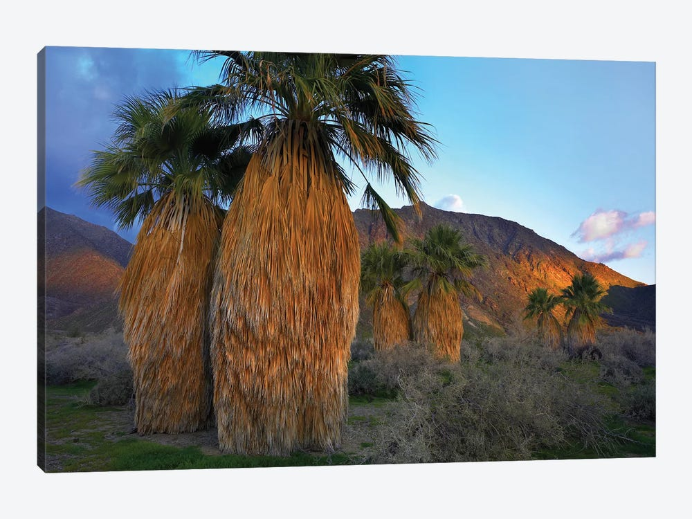 Real Fan Palm, Anza-Borrego Desert, California 1-piece Art Print