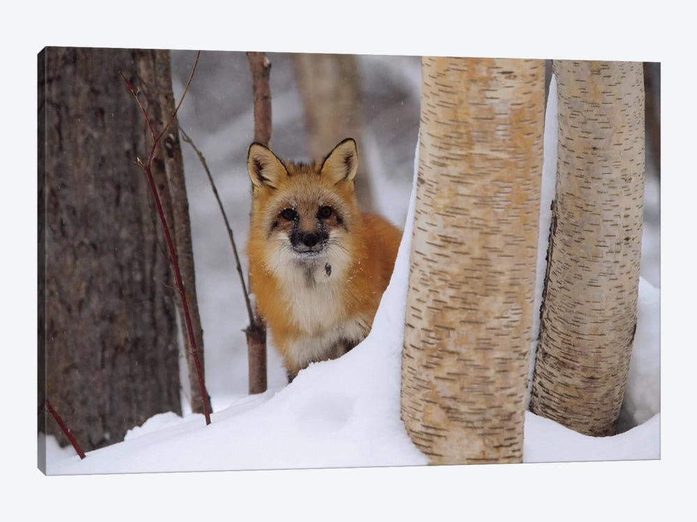 Red Fox Looking Out From Behind Trees In A Snowy Forest, Montana by Tim Fitzharris 1-piece Canvas Art Print