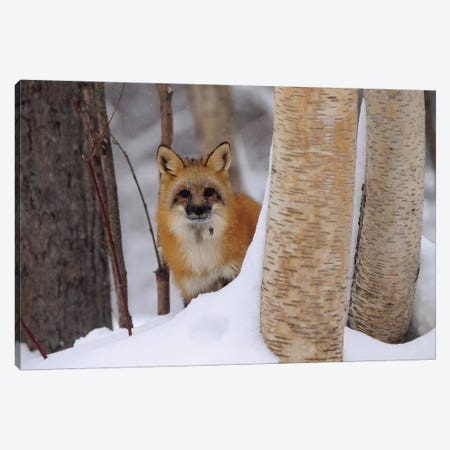 Red Fox Looking Out From Behind Trees In A Snowy Forest, Montana Canvas Print #TFI864} by Tim Fitzharris Canvas Art Print