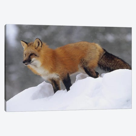 Red Fox Standing At The Top Of A Snow Bank, Montana Canvas Print #TFI865} by Tim Fitzharris Canvas Art Print