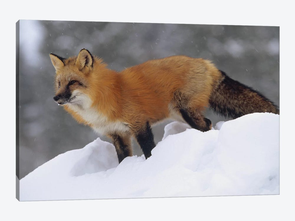 Red Fox Standing At The Top Of A Snow Bank, Montana by Tim Fitzharris 1-piece Canvas Wall Art