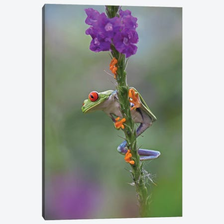 Red-Eyed Tree Frog Climbing On Flower, Costa Rica I Canvas Print #TFI871} by Tim Fitzharris Canvas Art Print