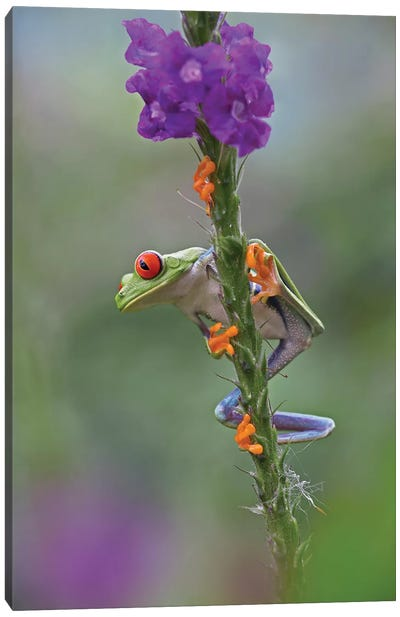 Red-Eyed Tree Frog Climbing On Flower, Costa Rica I Canvas Art Print
