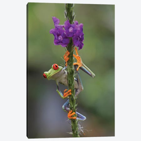 Red-Eyed Tree Frog Climbing On Flower, Costa Rica II Canvas Print #TFI872} by Tim Fitzharris Canvas Art Print