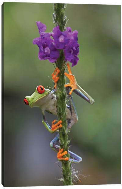 Red-Eyed Tree Frog Climbing On Flower, Costa Rica II Canvas Art Print