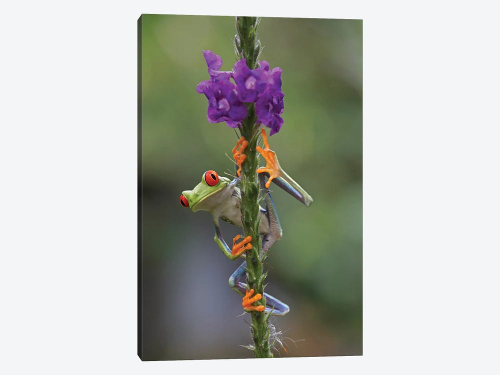 Red-Eyed Tree Frog Climbing On Flower, Costa Rica II 1-piece Canvas Artwork
