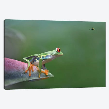 Red-Eyed Tree Frog Eyeing Bee Fly, Costa Rica, Digital Composite Canvas Print #TFI873} by Tim Fitzharris Canvas Print