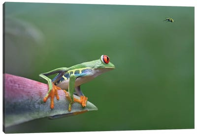 Red-Eyed Tree Frog Eyeing Bee Fly, Costa Rica, Digital Composite Canvas Art Print
