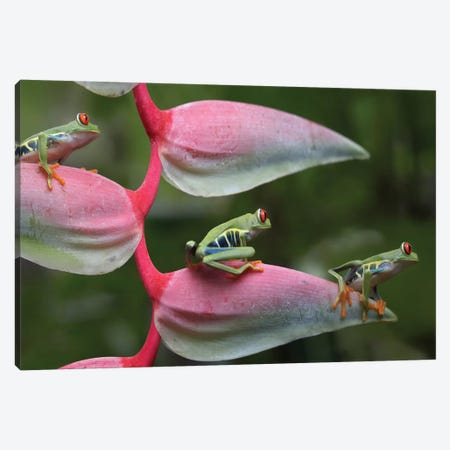 Red-Eyed Tree Frog Three Sitting On Heliconia, Costa Rica, Digital Composite Canvas Print #TFI874} by Tim Fitzharris Canvas Art