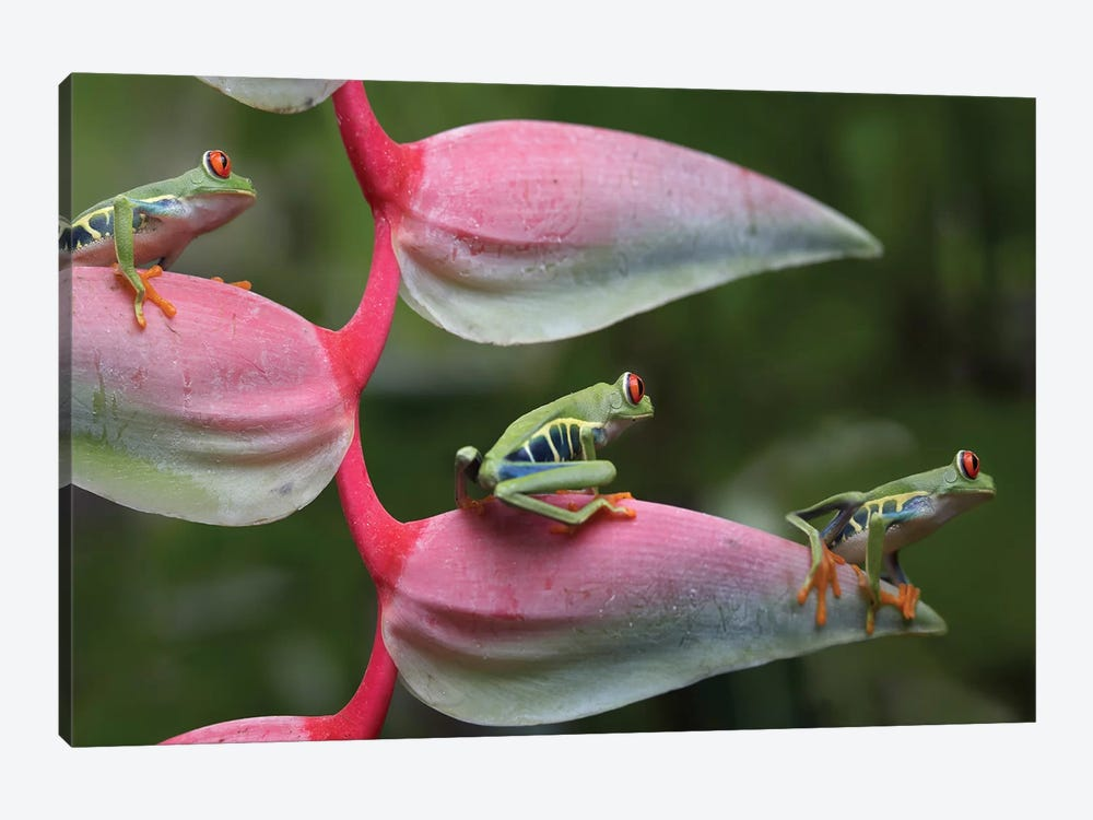 Red-Eyed Tree Frog Three Sitting On Heliconia, Costa Rica, Digital Composite by Tim Fitzharris 1-piece Canvas Artwork
