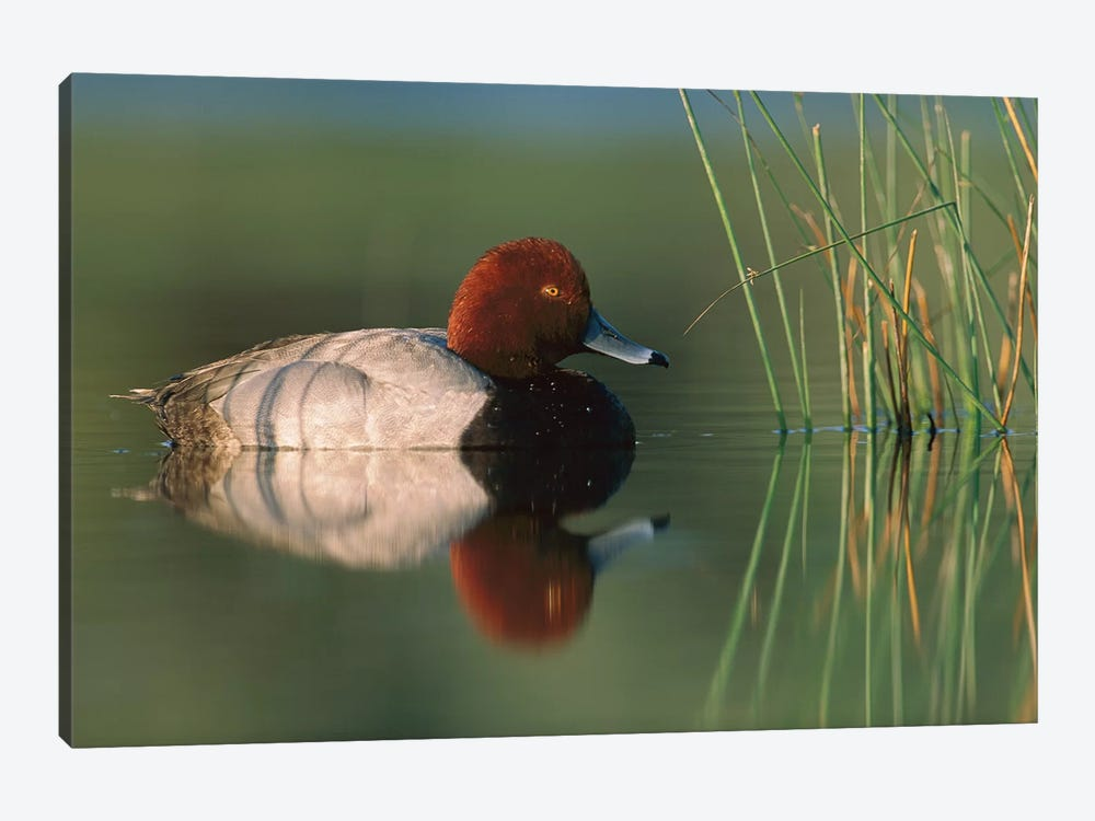 Redhead Duck Male, Moses Lake, Washington by Tim Fitzharris 1-piece Canvas Art Print
