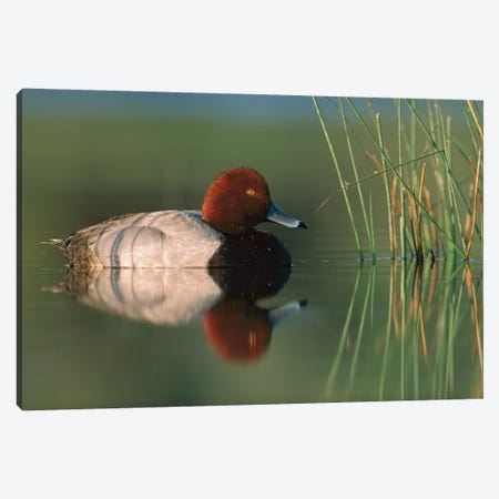 Redhead Duck Male, Moses Lake, Washington Canvas Print #TFI875} by Tim Fitzharris Canvas Art