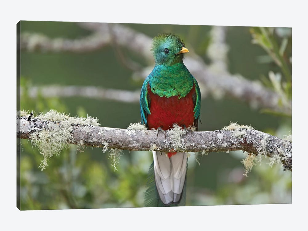 Resplendent Quetzal Male, Costa Rica I by Tim Fitzharris 1-piece Canvas Wall Art
