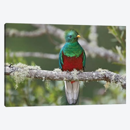 Resplendent Quetzal Male, Costa Rica I Canvas Print #TFI881} by Tim Fitzharris Canvas Artwork