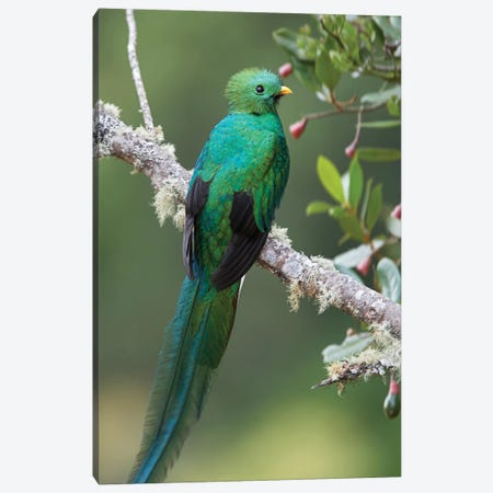 Resplendent Quetzal Male, Costa Rica II Canvas Print #TFI882} by Tim Fitzharris Canvas Artwork