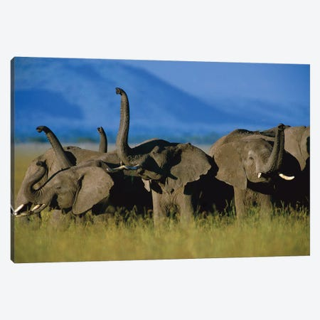 African Elephant Herd Sniffing The Air, Kenya Canvas Print #TFI8} by Tim Fitzharris Canvas Wall Art