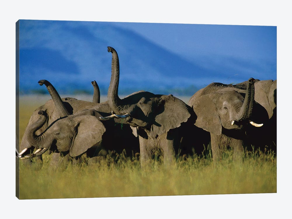 African Elephant Herd Sniffing The Air, Kenya by Tim Fitzharris 1-piece Canvas Artwork