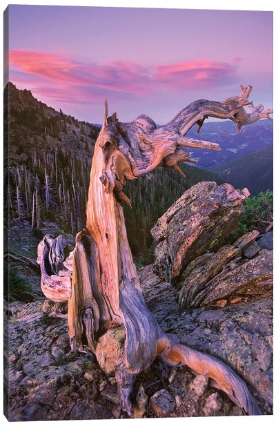 Rocky Mountains Bristlecone Pine Tree Overlooking Forest, Rocky Mountain National Park, Colorado Canvas Art Print
